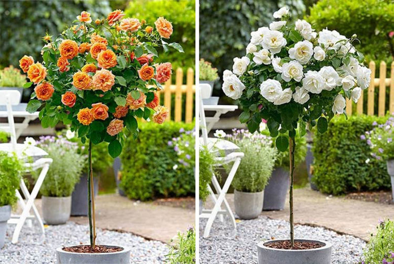 Patio Rose Tree U2013 5 Colours! | Plants U0026 Flowers Deals In ...