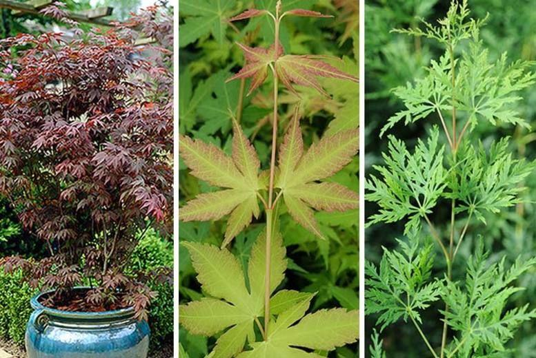 3 X Japanese Maple Trees Shop Wowcher