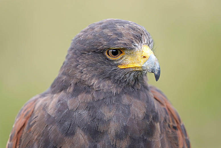Falconry 3hr Experience Voucher