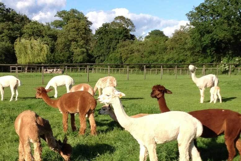 2hr Alpaca Experience Voucher - Hampshire