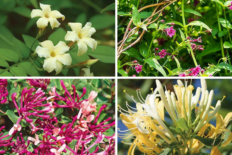 Scented-Climber-Collection-1