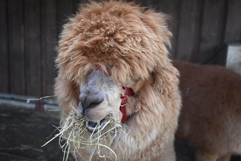 Alpaca Experience Voucher - Knutsford