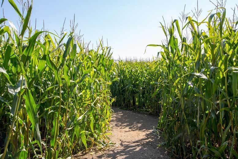 Boston Park Farm Maize Maze