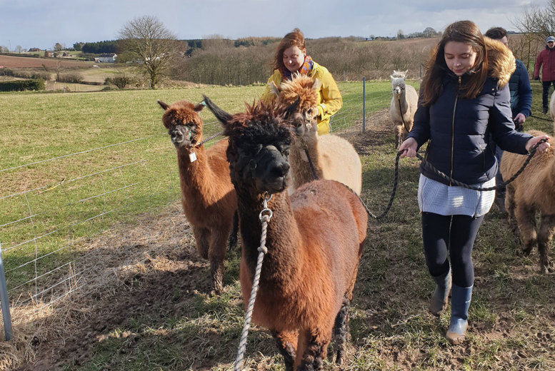 Alpaca Walk & Afternoon Tea Voucher - Leicester