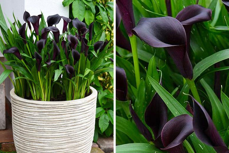 Black-Calla-Lily-1