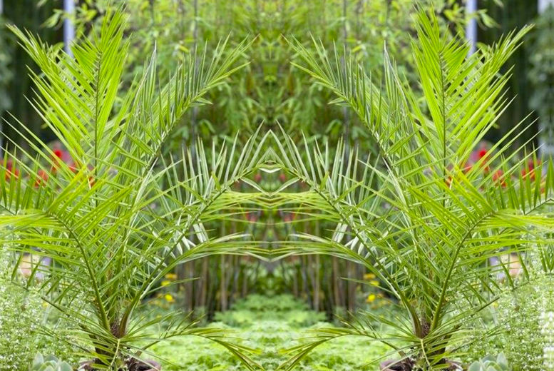 Plantstore---Giant-XXL-Phoenix-canariensiss1