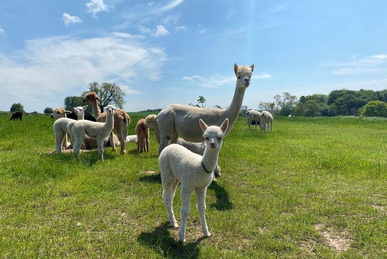 Baby Alpaca Experience Voucher