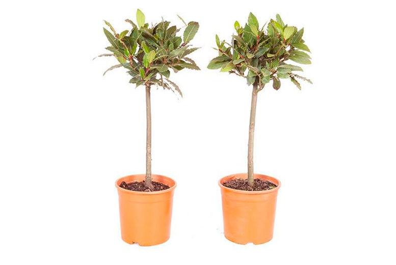 You-Garden-Ltd-Single-or-Pair-Bay-Tree-Patio-Standard-2