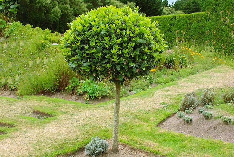 You-Garden-Ltd-Single-or-Pair-Bay-Tree-Patio-Standard-5