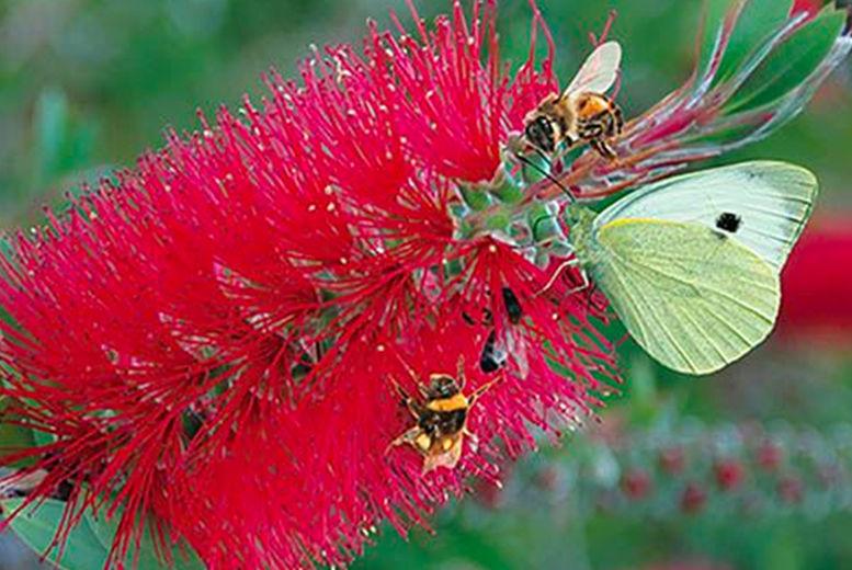 Blooming-Direct---Callistemon-Bottlebrush-Patio-ready-trees2