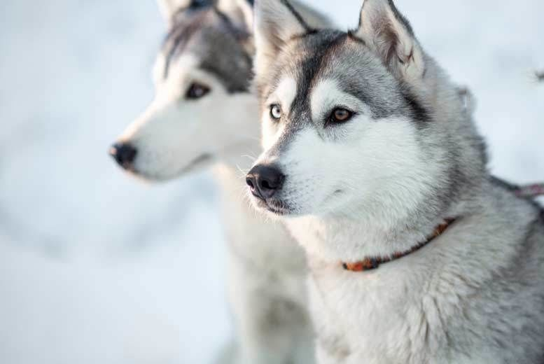 Husky Adoption Pack Voucher