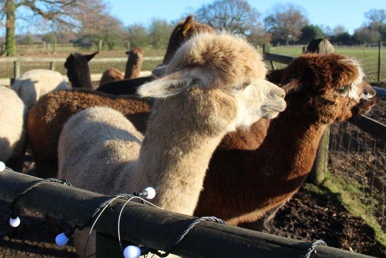 Alpaca Experience Voucher - Warwickshire
