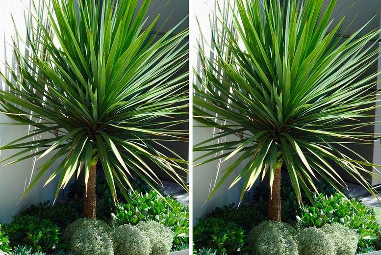 GIANT 4.5-5.5ft ON ARRIVAL Cordyline australis Verde