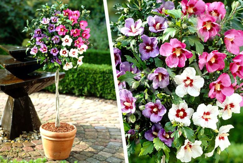 Tricolour Hibiscus Tree Shop Wowcher