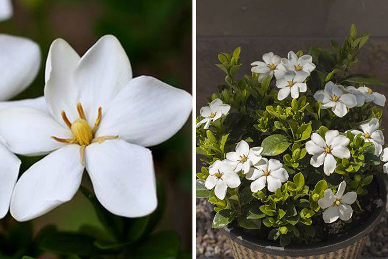 Gardenia-Bundle---Kleims-&-Sweet-Heart-1