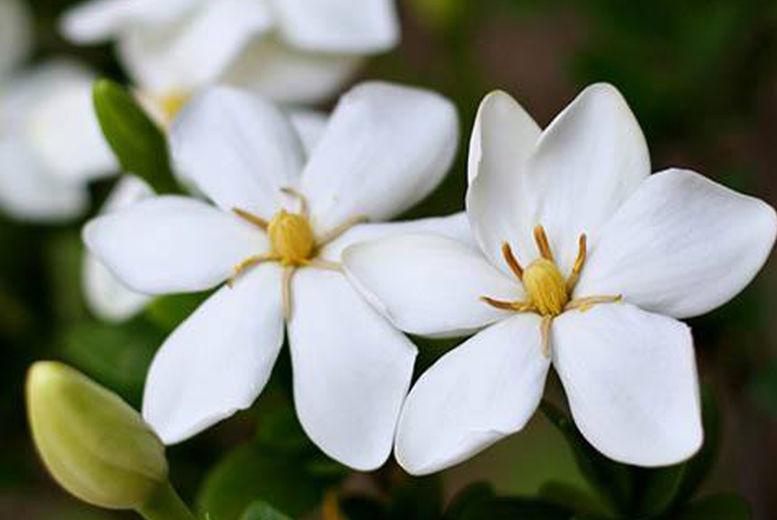 Gardenia-Bundle---Kleims-&-Sweet-Heart--SH-2