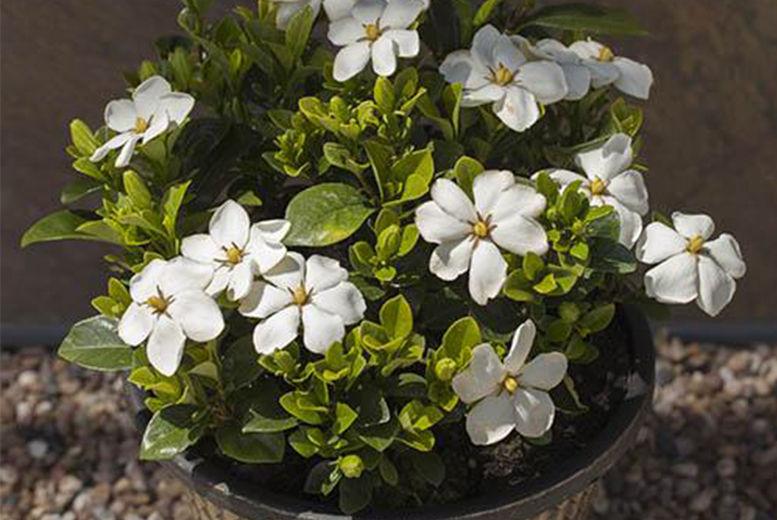 Gardenia-Bundle---Kleims-&-Sweet-Heart--SH-3