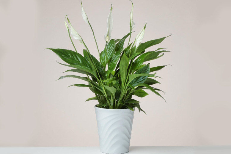 Peace Lily Plant in a Ceramic Pot Voucher