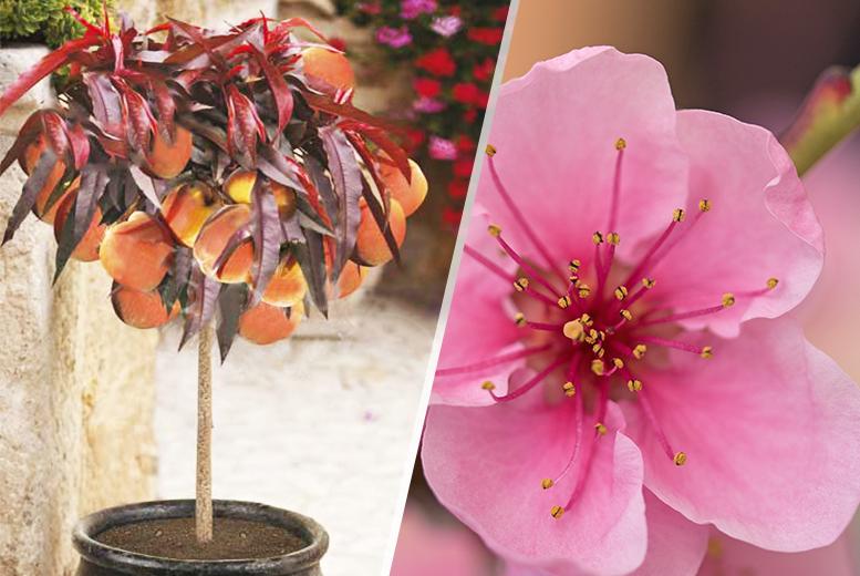 'Crimson Bonfire' Patio Peach Tree
