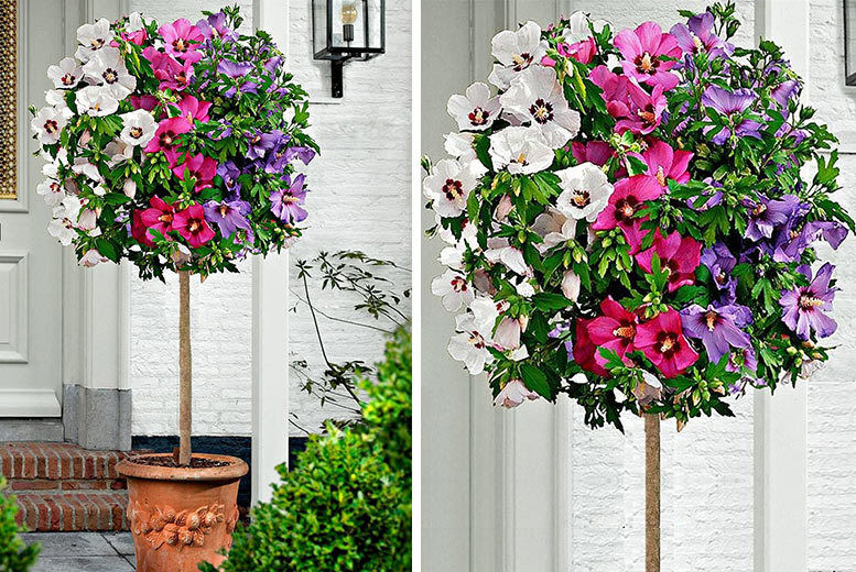 Tricolour Hibiscus Trees Liverpool Wowcher